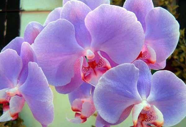 Orchidee guida completa alla coltivazione e cura for Semi orchidea