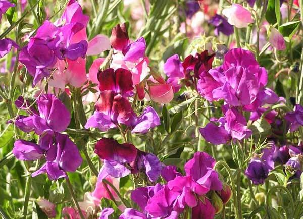 Pisello odoroso guida completa alla coltivazione e cura for Piantare piselli