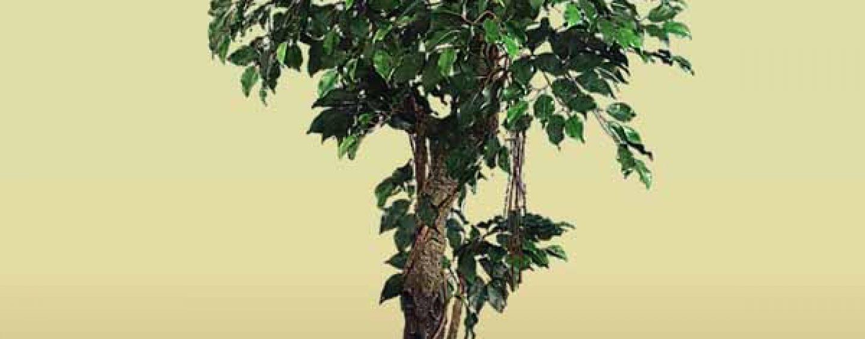 Ficus Benjamin: coltivazione e cura
