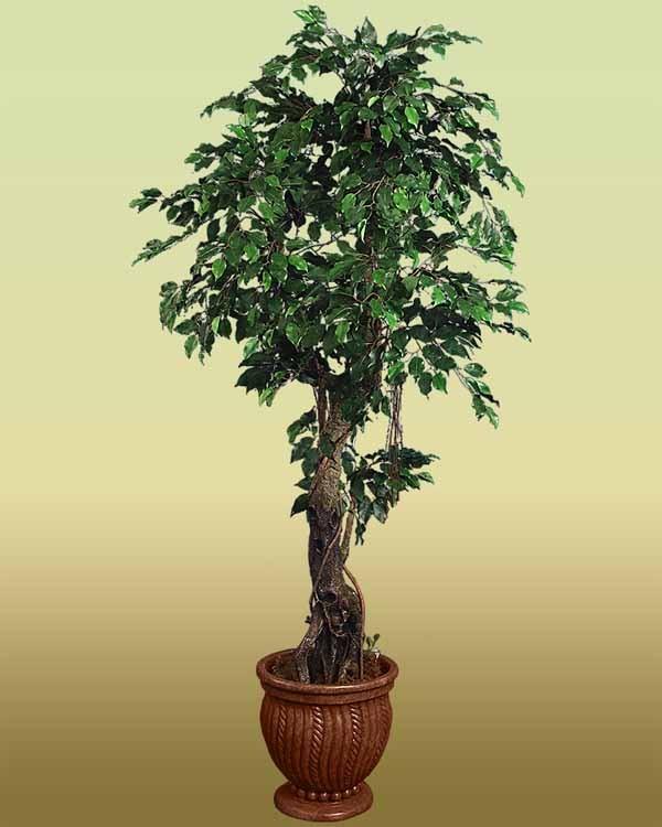 Ficus benjamin guida completa alla coltivazione e cura for Piante da interno alte