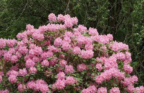 Rododendro guida completa alla coltivazione e cura for Cespugli fioriti perenni da giardino