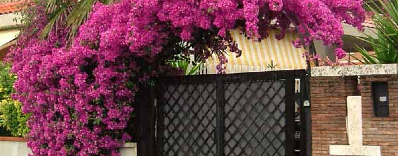 Bouganville: coltivazione e cura