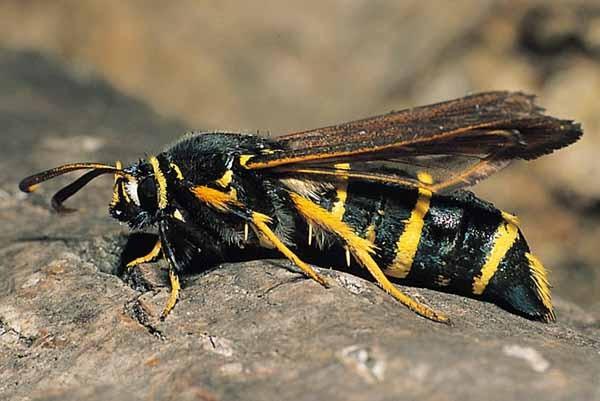 Tarlo vespa del pioppo