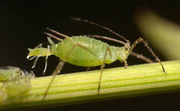 Parassiti delle piante come combatterli - Parassiti del letto ...