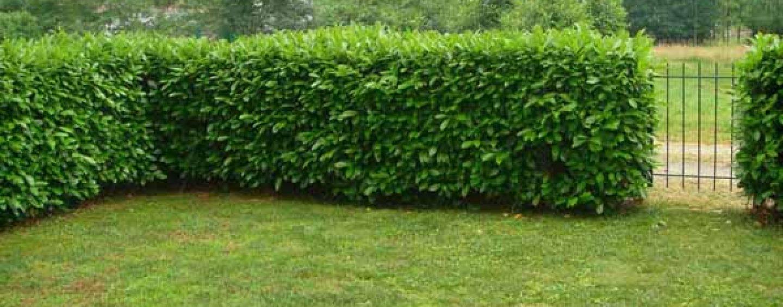 siepe da giardino: coltivazione, cura e potatura | coltivare facile - Siepe Da Giardino Piccolo