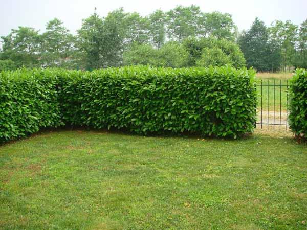 Siepe da giardino coltivazione cura e potatura for Siepe sempreverde