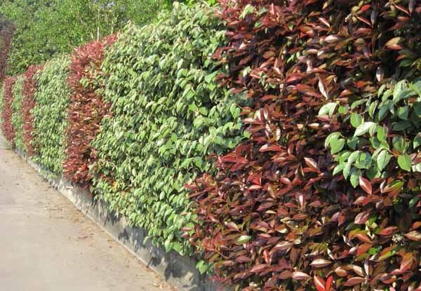 piante per siepi guida completa per sceglierle