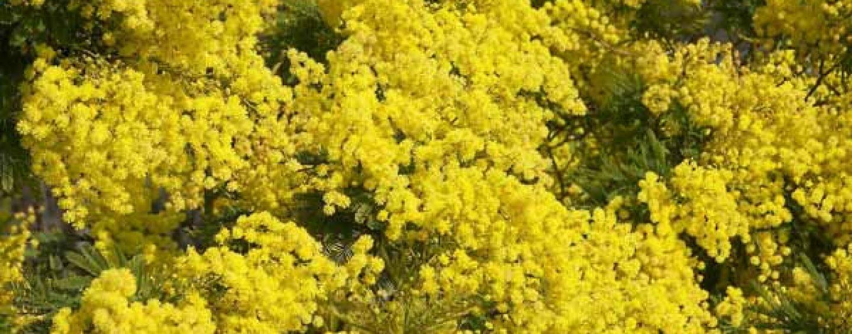 Mimosa: coltivazione e cura