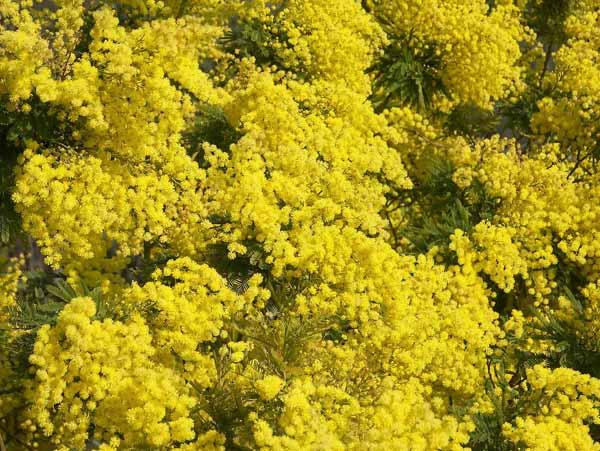 mimosa guida completa alla coltivazione e cura