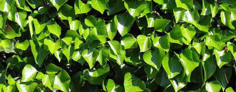 Piante tappezzanti le variet coltivare facile for Piante tappezzanti perenni