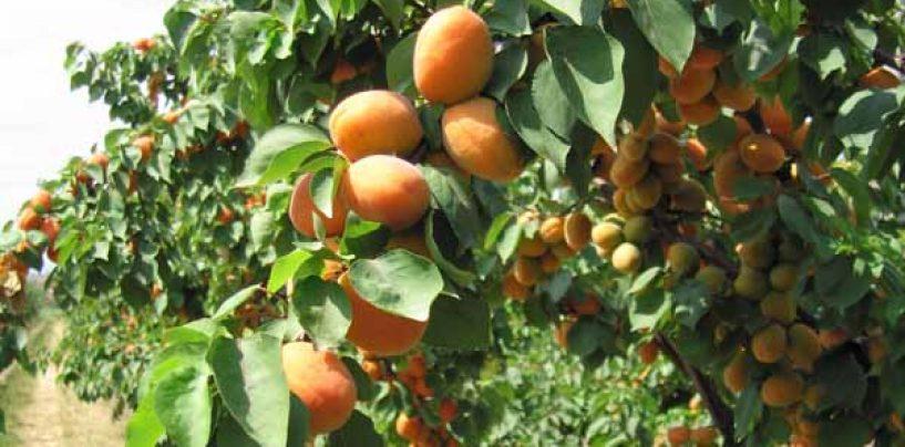 Albicocco: varietà e caratteristiche