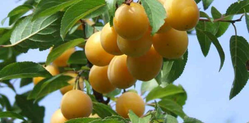 Susino: varietà, caratteristiche e coltivazione