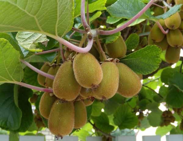 Coltivare e curare il kiwi o actinidia for Kiwi pianta