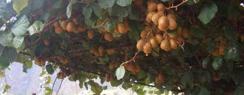 Kiwi o actinidia: potatura