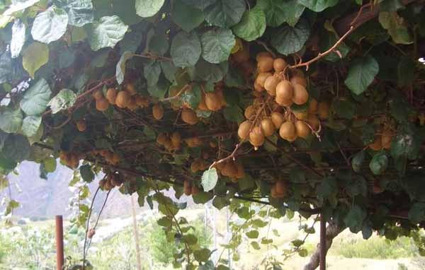 Potatura del kiwi o actinidia