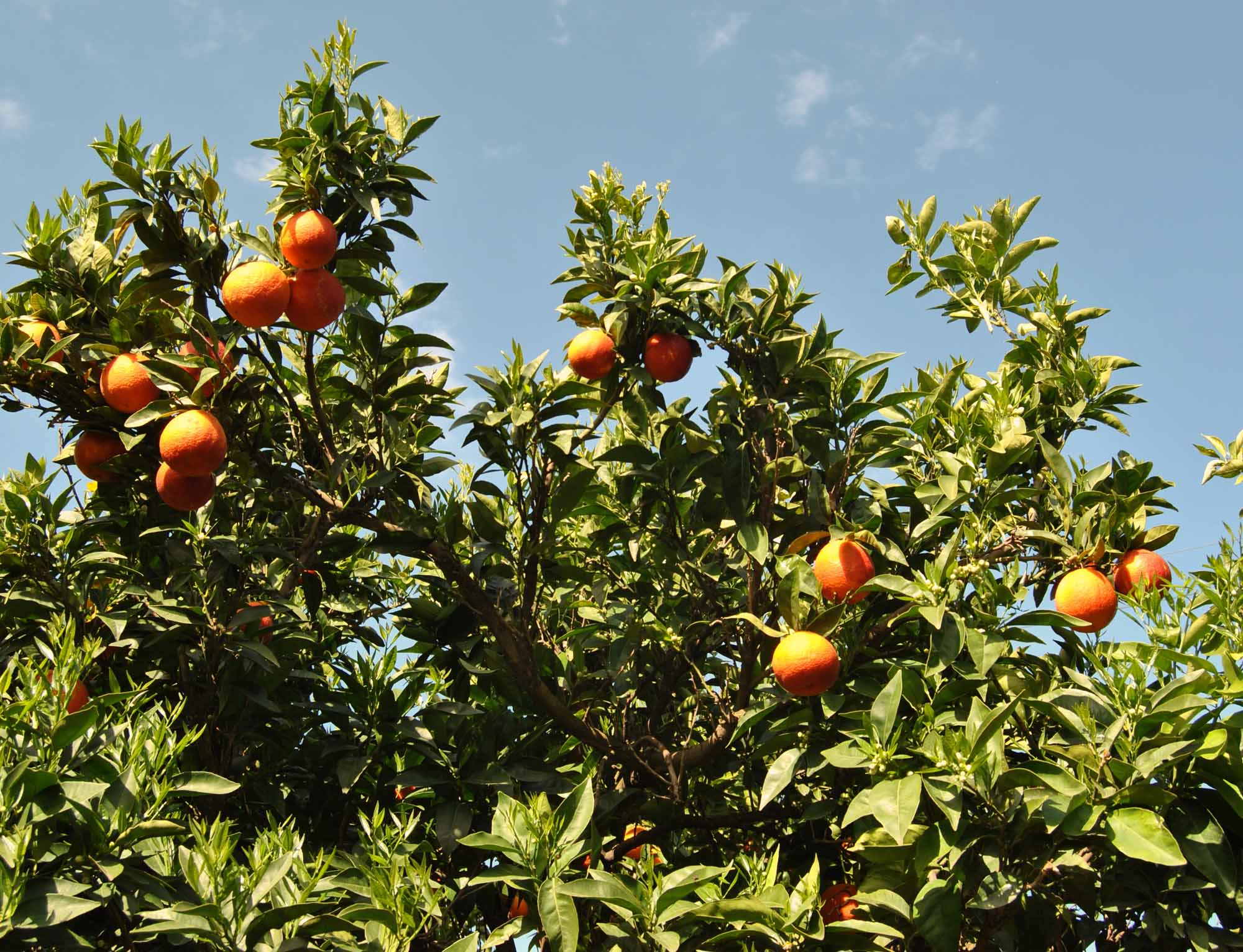 Potare gli agrumi for Quando piantare alberi da frutto