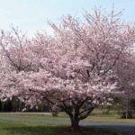 Potatura del ciliegio