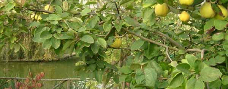 Potatura del cotogno coltivare facile for Potatura del melo