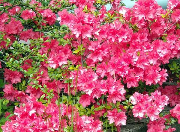 Coltivare azalee e rododendri - Azalee da esterno ...