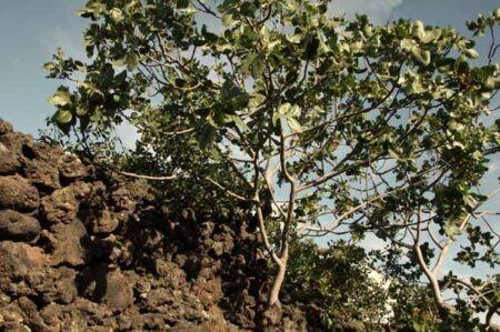Potatura del kiwi o actinidia for Albero di kiwi
