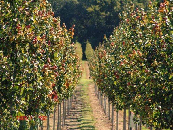 Concimare le piante da frutto for Alberi da frutto