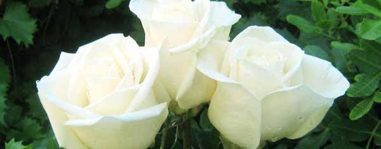 Riconoscere e curare i parassiti delle rose coltivare facile for Malattie delle rose