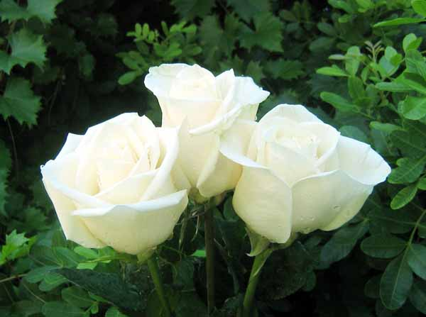 Riconoscere e curare i parassiti delle rose