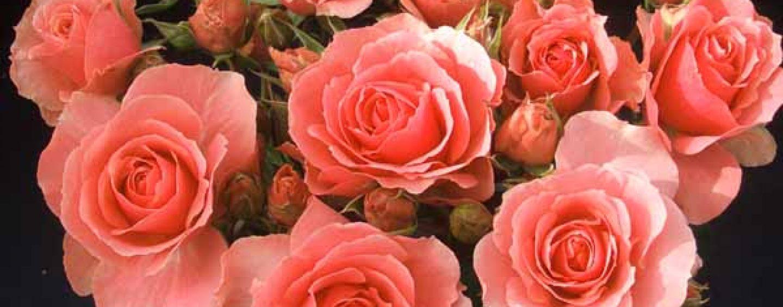 Coltivare le rose