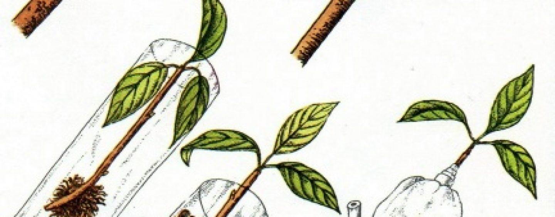 La propagazione delle piante per margotta