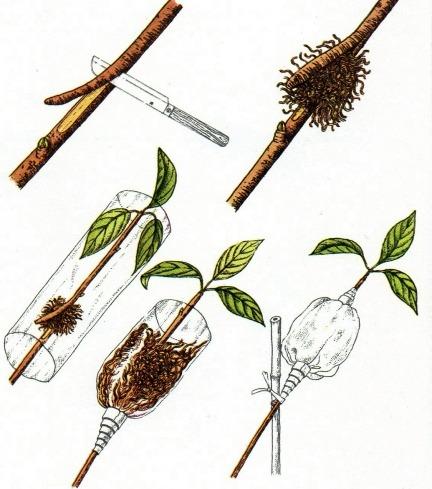 La propagazione delle piante per margotta for Talea edera