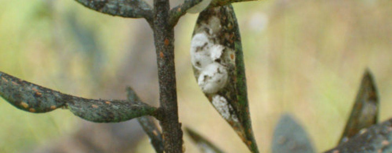 Parassiti e malattie dell'olivo