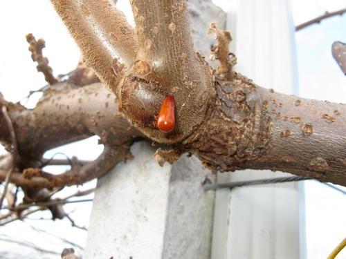 Parassiti e malattie dell'actinidia