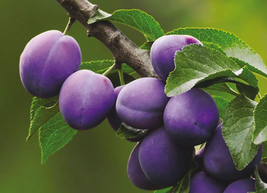 Come coltivare il susino for Prezzi alberi da frutta