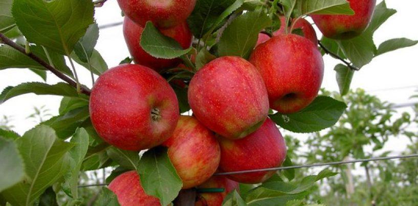Concimare il melo