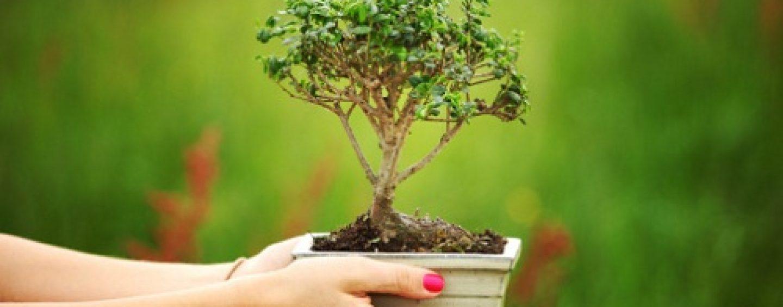 Curare il bonsai coltivare facile for Bonsai comprare