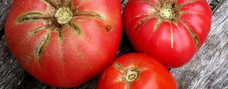 Malattie dei pomodori coltivare facile for Malattie pomodoro