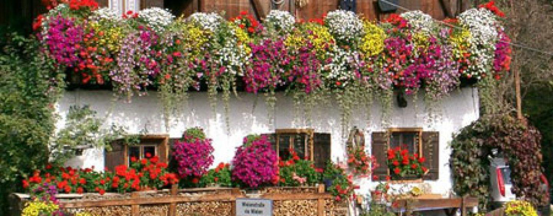Migliori piante rampicanti da balcone coltivare facile for Piante da frutto rampicanti