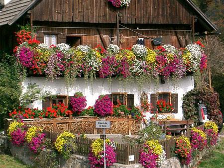 Migliori piante rampicanti da balcone for Piante da balcone perenni