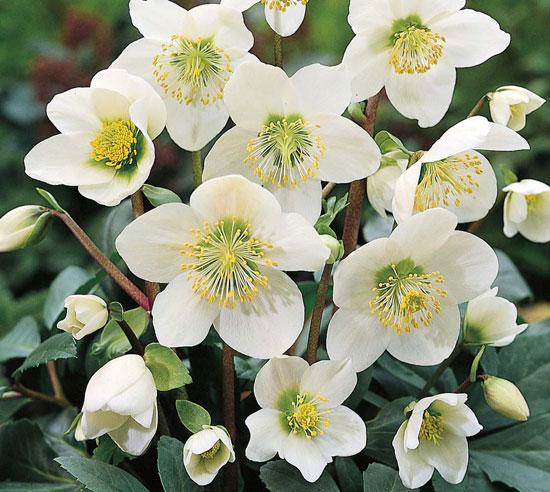 Elleboro come coltivare la pianta regalata a ges bambino for Nomi di fiori bianchi