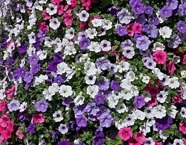 Petunia guida completa a coltivazione e cura for Fiori perenni pieno sole