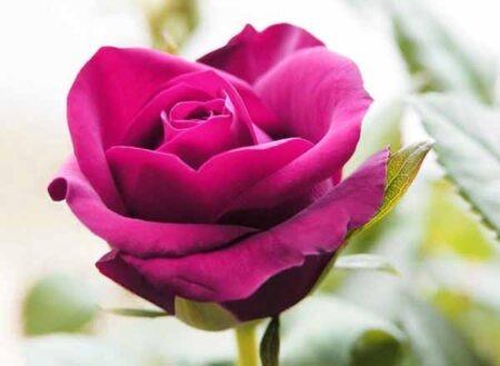 curare le rose
