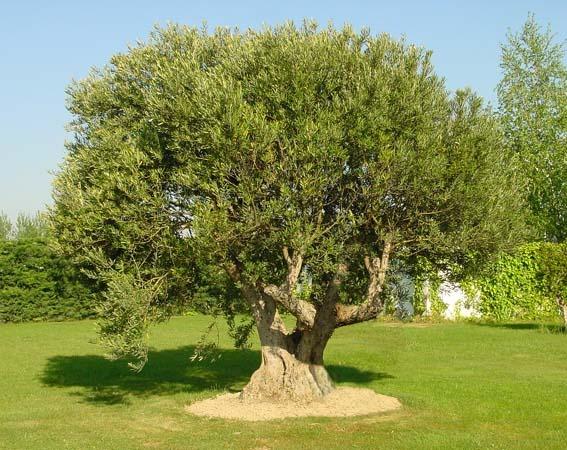 Coltivare l 39 olivo for Arboles ornamentales hoja perenne para jardin