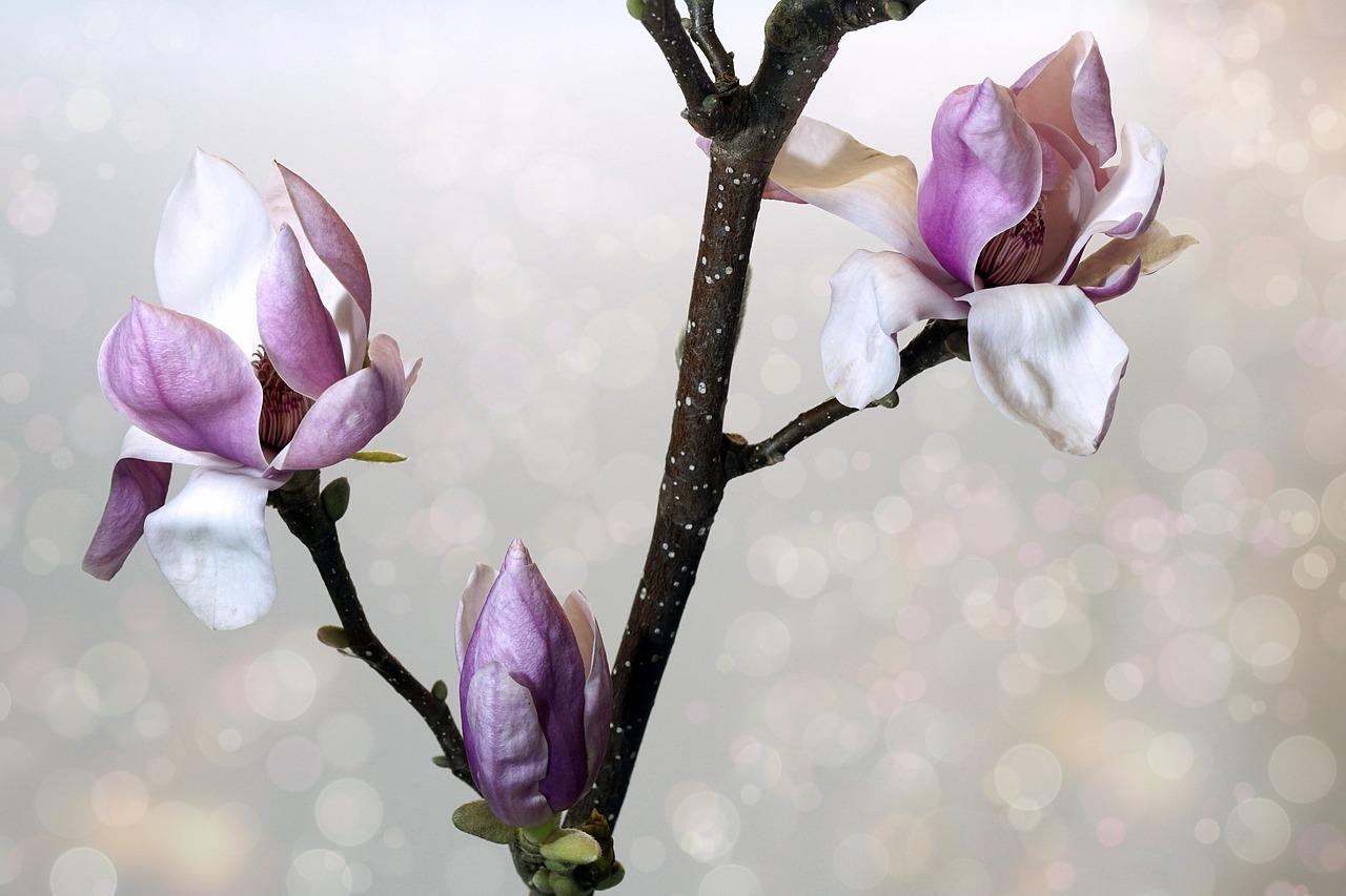 Come Far Morire Una Pianta magnolia: tutto quello che c'è da sapere