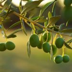 Coltivare l'ulivo