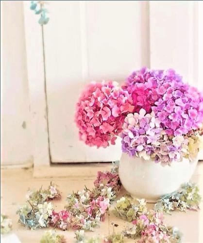 ortensie rosa in vaso