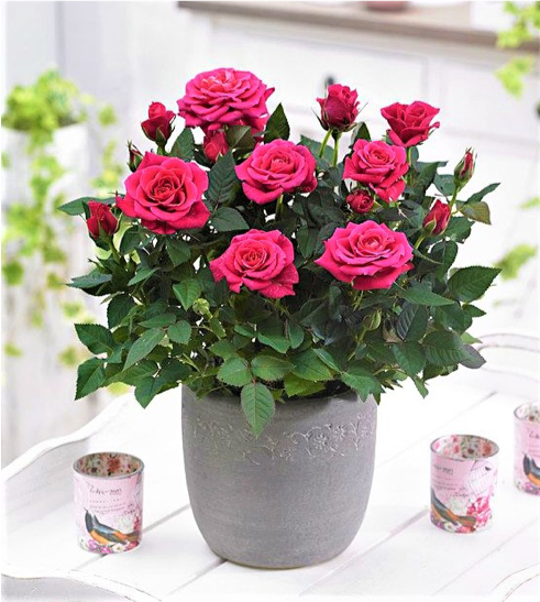 Vaso di rose rosse