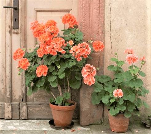 vaso di gerani arancioni