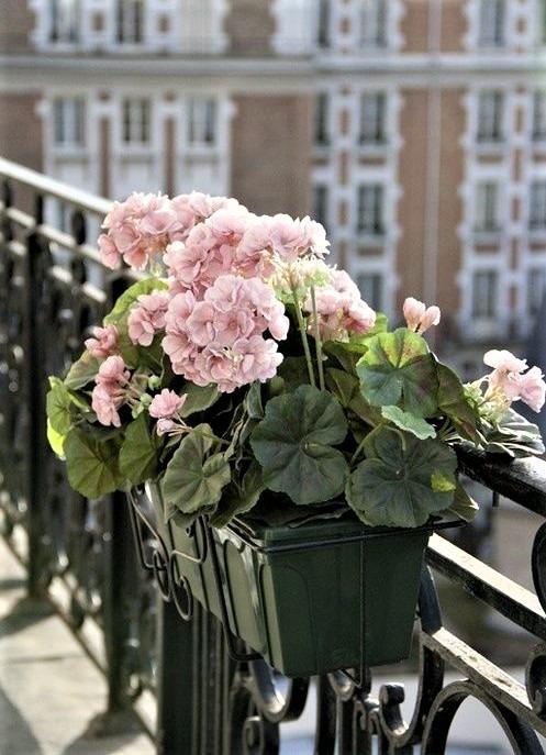 gerani parigini rosa chiaro