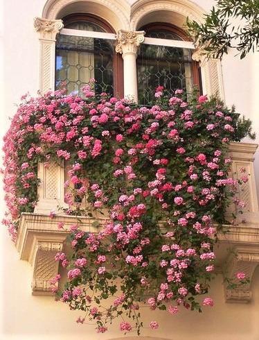 gerani a cascata rosa su balcone
