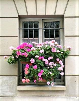 gerani colorati su finestre in ferro